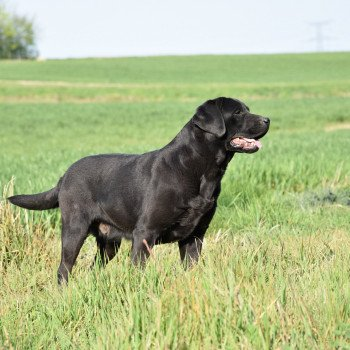 Le retriever du Labrador